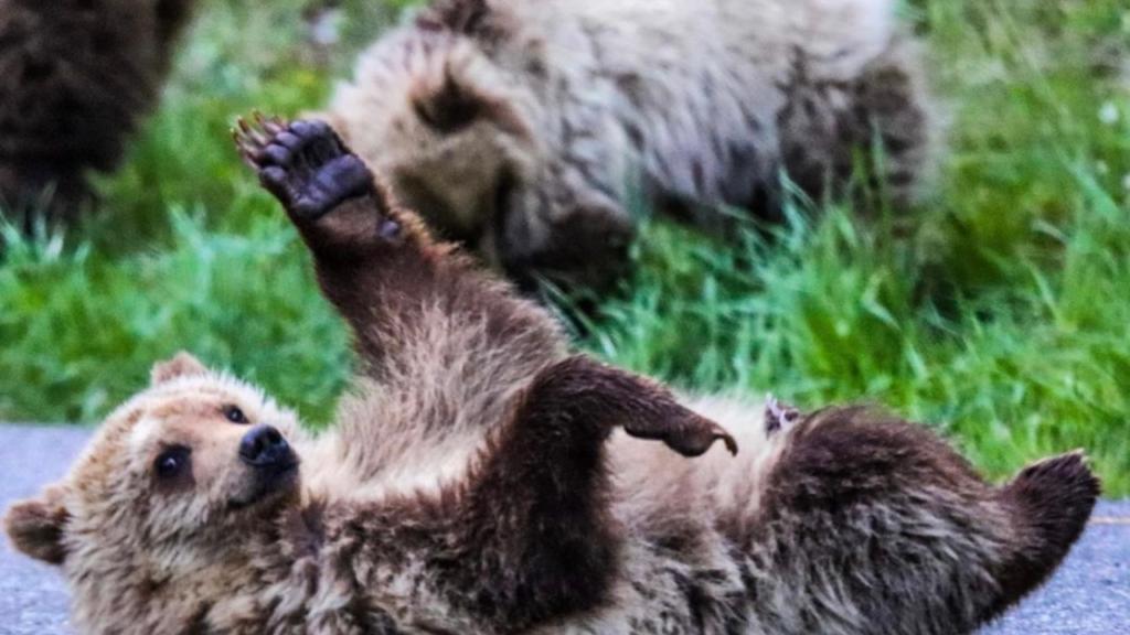 grizzly bear waving at camera